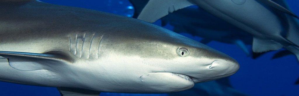 Où et quand plonger avec les requins ?