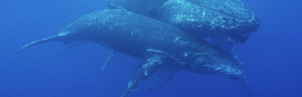 Où et quand nager avec les baleines ?